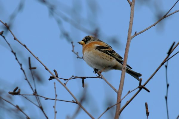 brambling-male-showing-breast-plumage