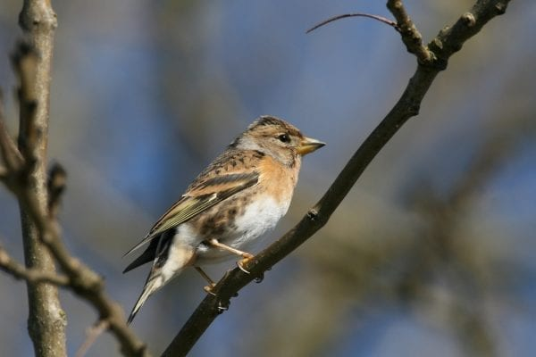 brambling-female-perched-in-tree