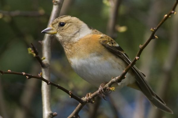 brambling-female-perched-on-branch