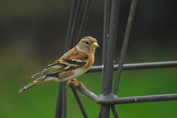brambling-perched-on-garden-furniture