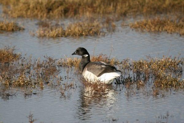 brent-goose-in-wetland