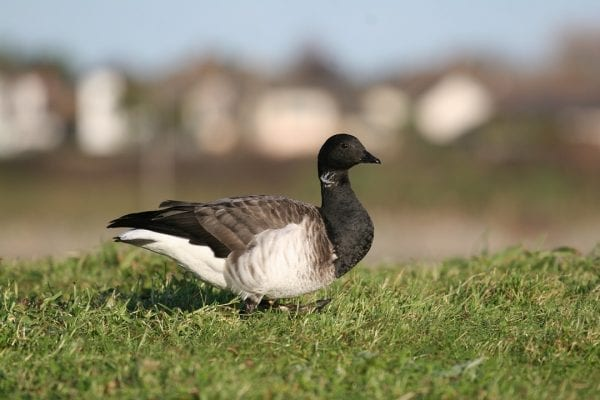 brent-goose-grazing-in-green-pasture