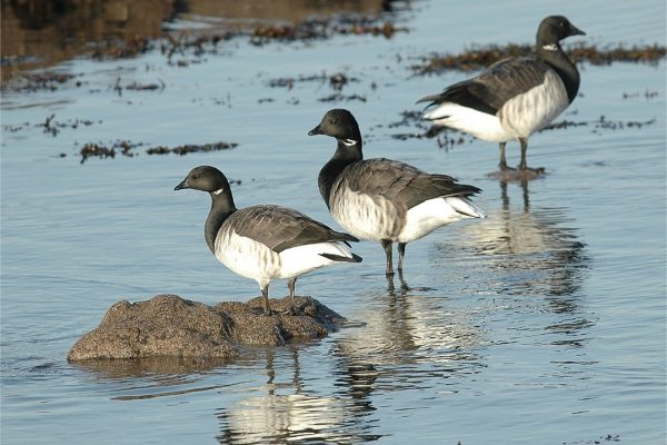 brent-goose-standing-on-sea-shore