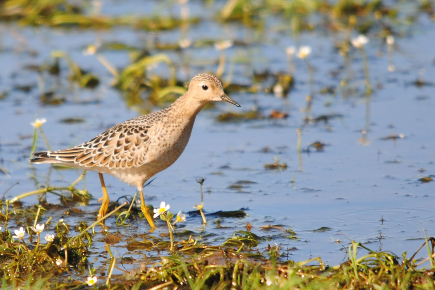 buff-breasted-sandpiper-wading