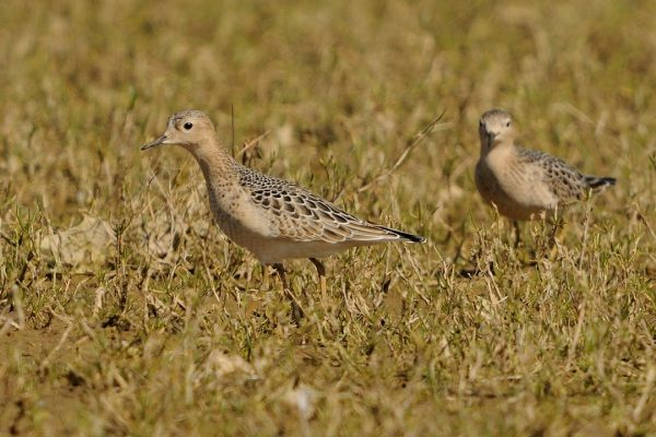 buff-breasted-sandpiper-pair-in-wet-grassland