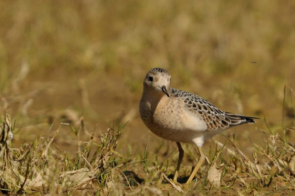 buff-breasted-sandpiper-in-wet-grassland