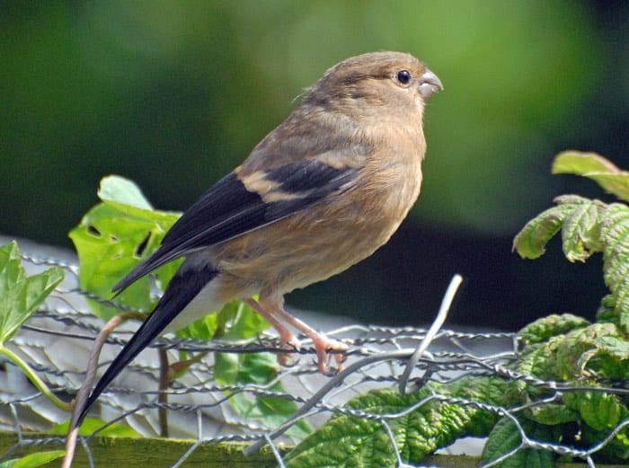 bullfinch-juvenile-on-garden-fence