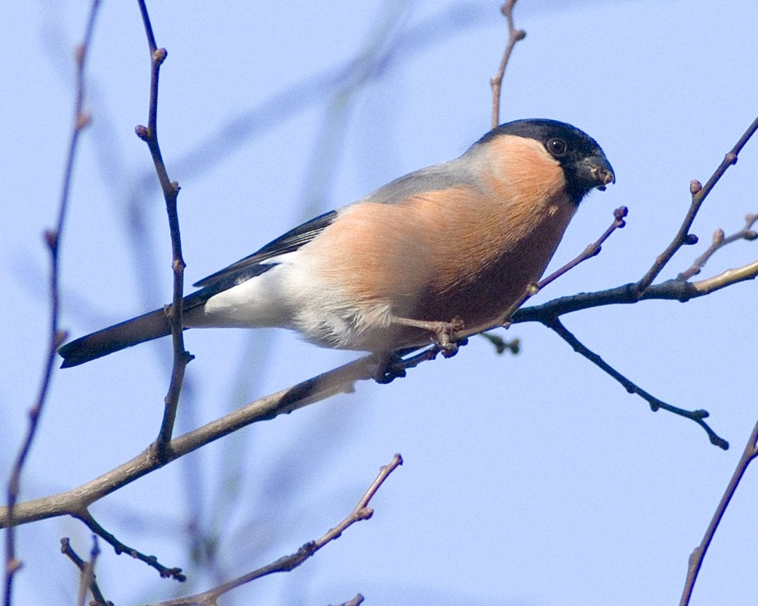 bullfinch-male-on-branch