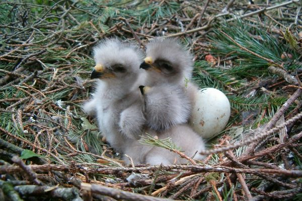 buzzard-chicks-on-nest-with-eggs