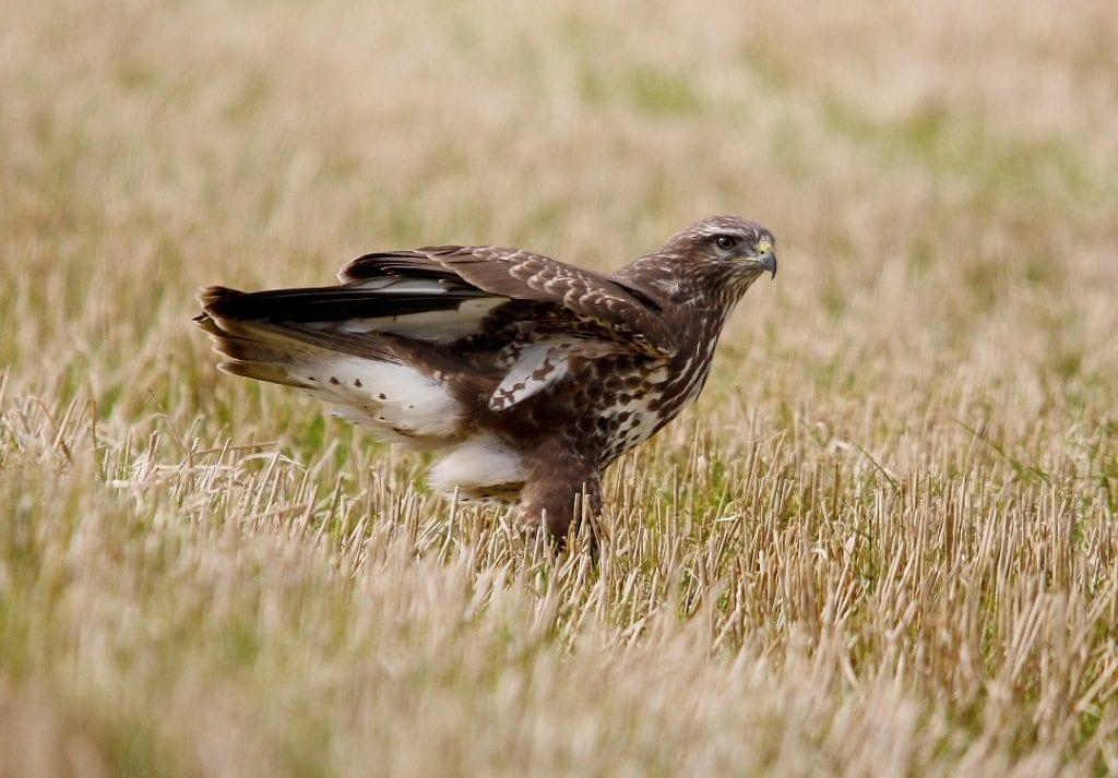 buzzard-standing-in-grassland