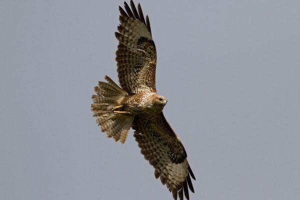 buzzard-in-flight