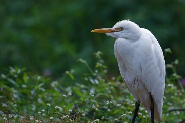 Cattle Egret (Agnes Hosea)