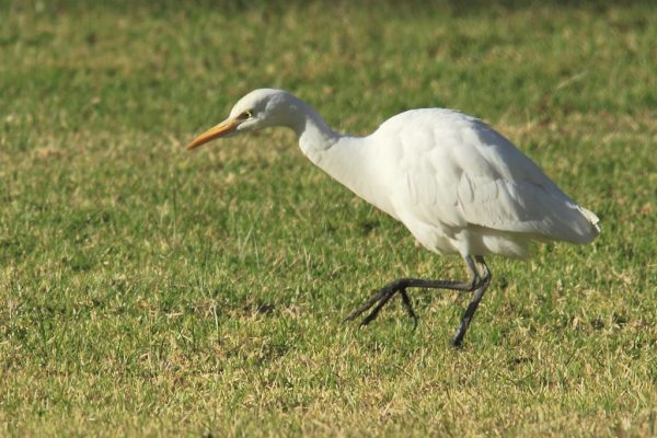Cattle Egret (Darren)