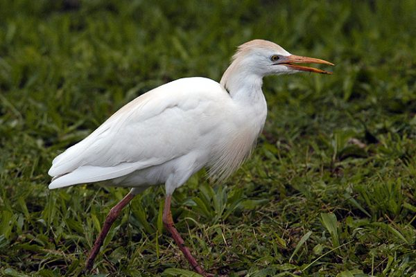 Cattle Egret (Doug Greenberg)