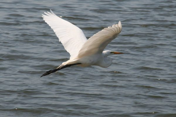 Cattle Egret (Douglas Mills)