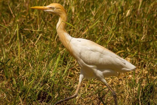 Cattle Egret (James Niland)