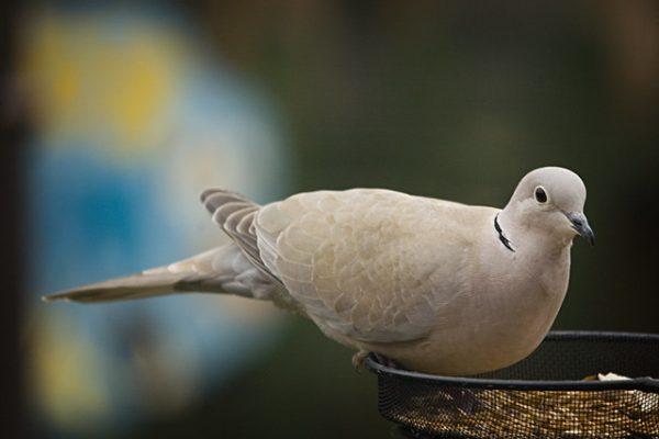 Collared Dove (Jlhopgood)