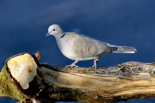 Collared Dove (Keith Elwood)