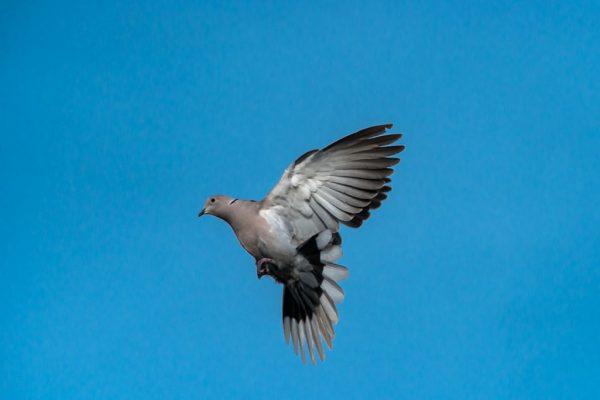 Collared Dove (Mark Seton)