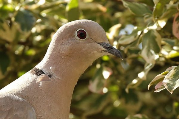 Collarded Dove