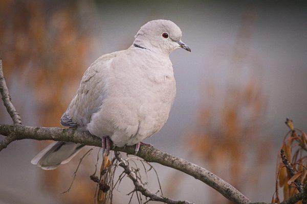 Collared Dove (hedera.baltica)