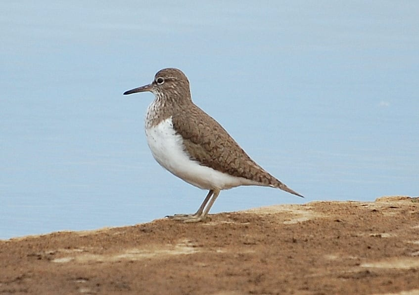 Common-sandpiper-by-shore