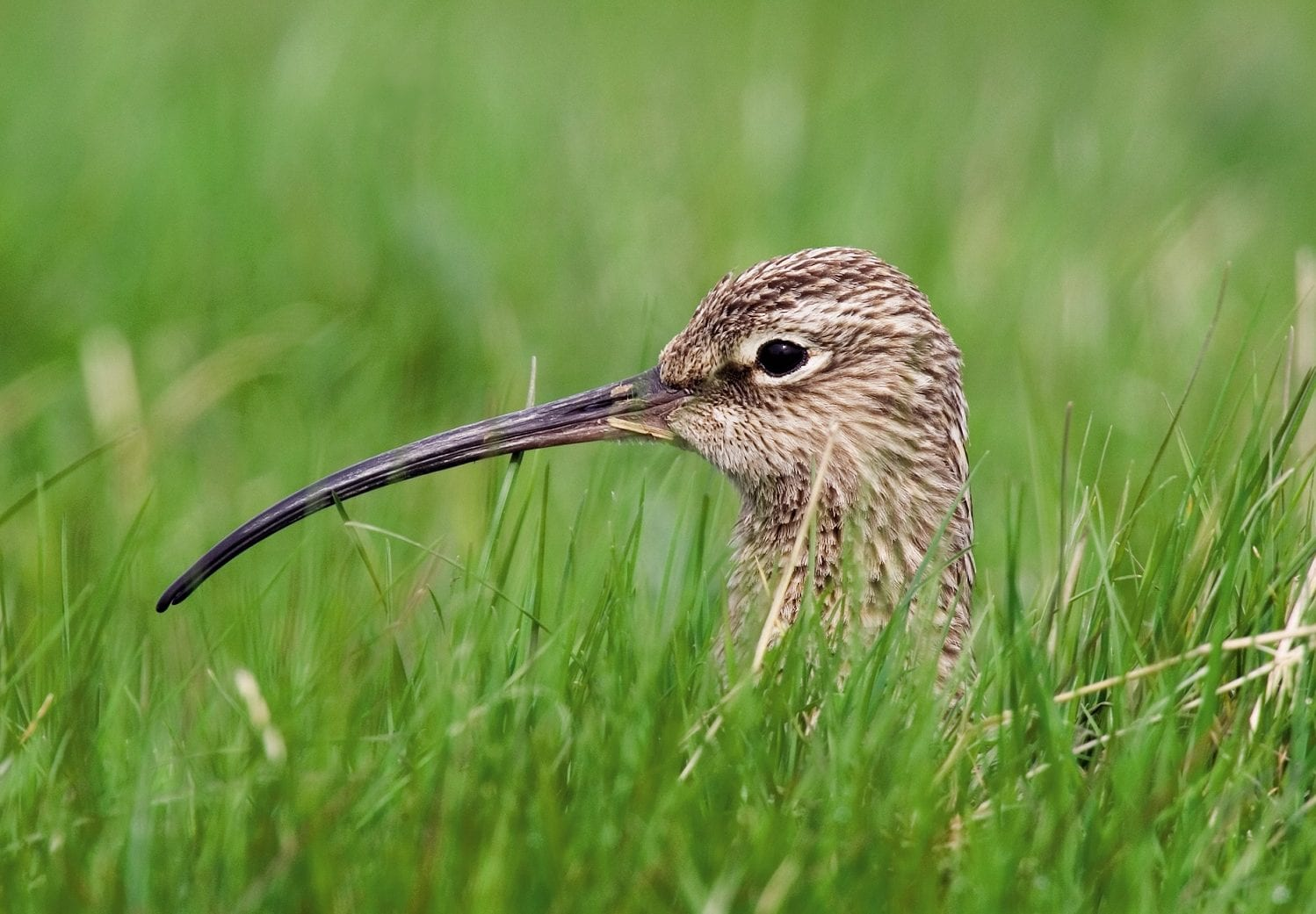 curlew-nesting-grass