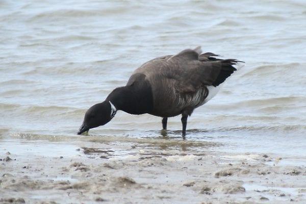 Branta bernicla bernicla (Linnaeus, 1758), Dark-bellied Brent Goose, The Naze, Walton-on-the-Naze, Essex, 1 April 2017