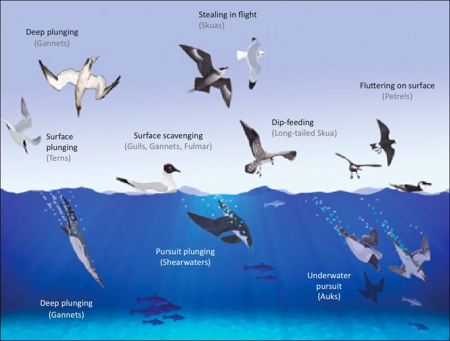 image-displaying-the-feeding-methods-of-Irish-seabirds