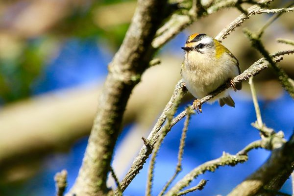 firecrest-perched-on-branch
