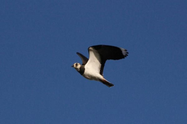 Lapwing-in-flight-against-blue-sky