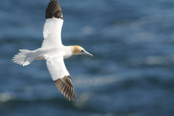 gannet-flying-wings-outstretched