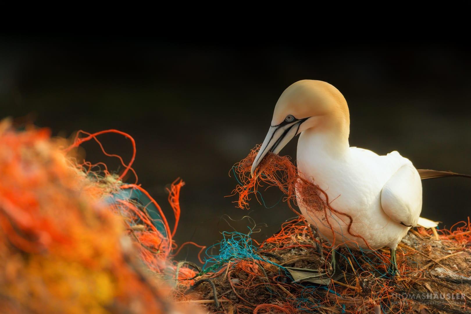 gannet-holds-fishing-net-in-its-beak