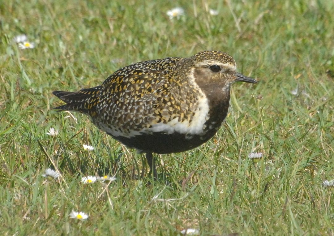 Golden-plover-breeding-plumage