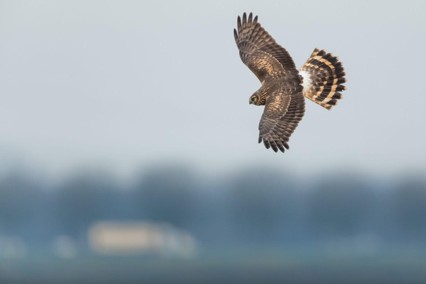 female-hen-harrier-in-flight