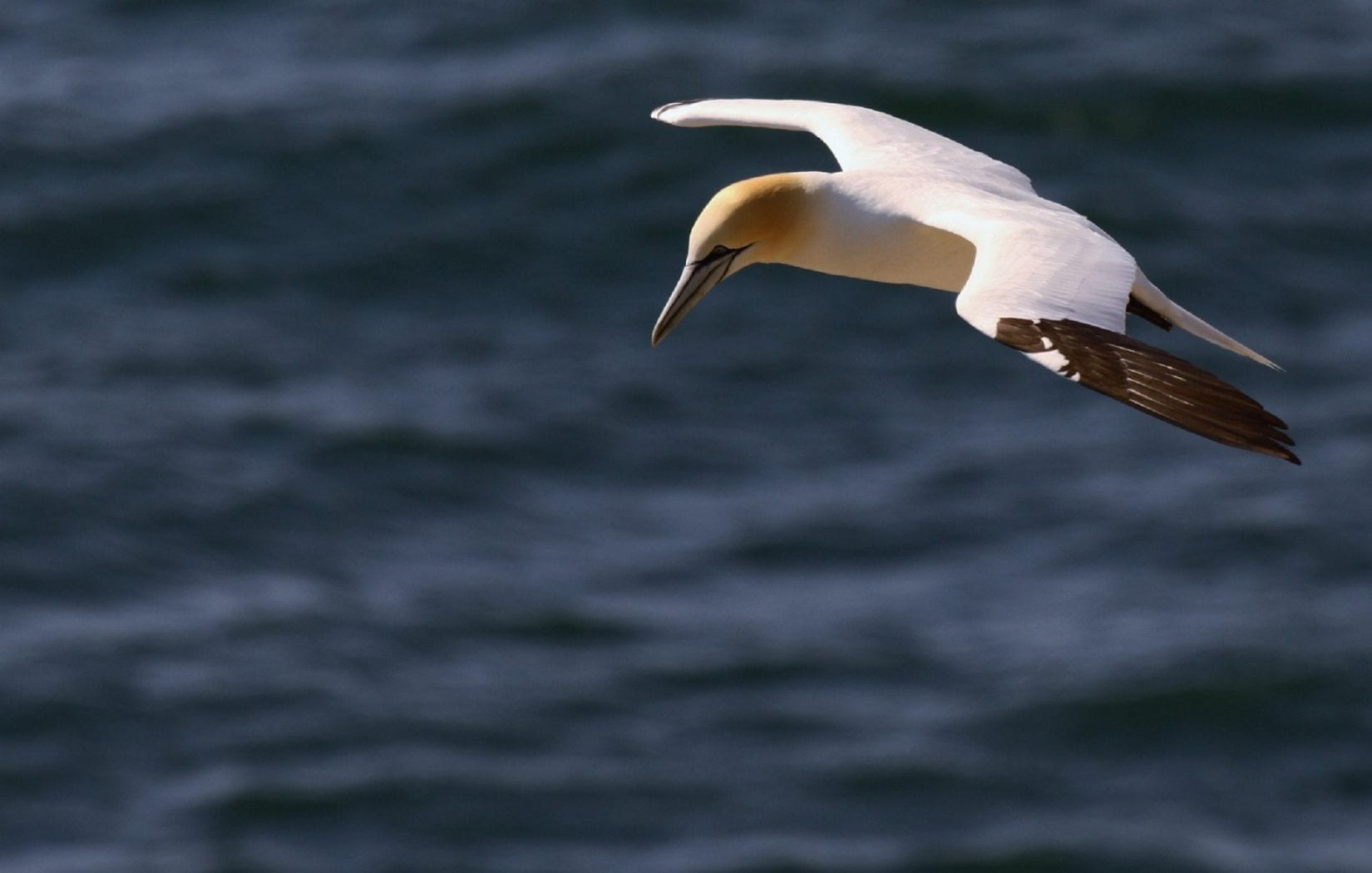 Gannet-on-the-hunt