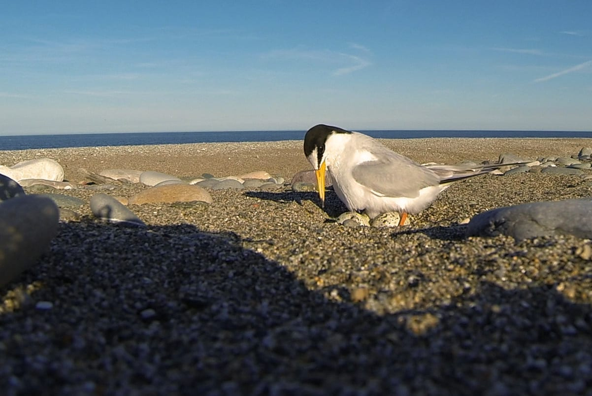 Little-Tern-Sitting-on-eggs-on-shingle-beach
