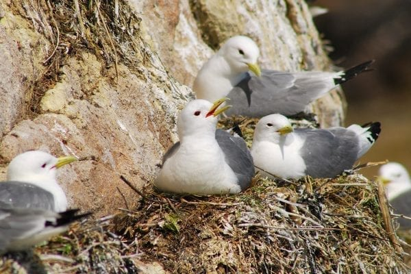 Kittiwakes-sitting-on-nests-on-a-cliff
