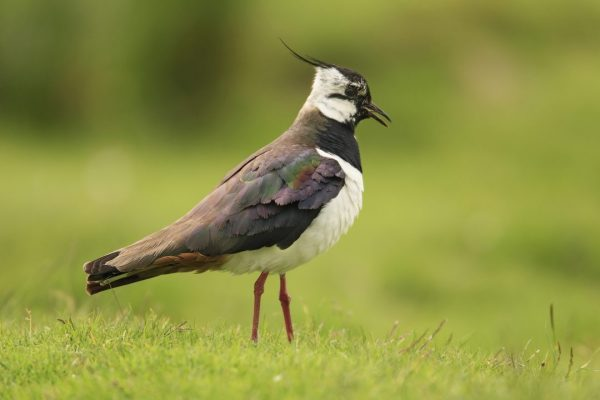 Lapwing-Green-Field-Summer-Plumage
