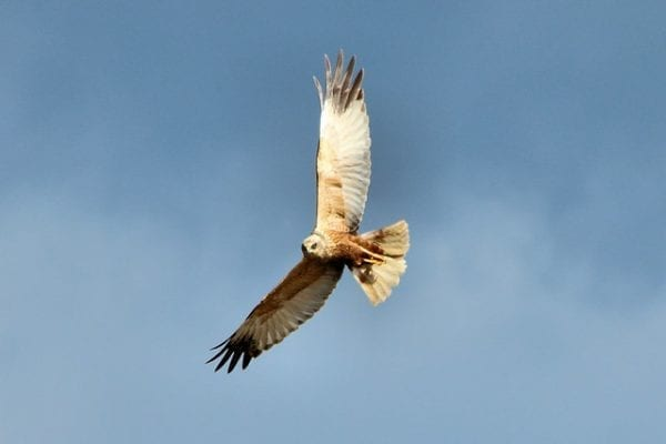 Marsh Harrier (Airwolfhound)
