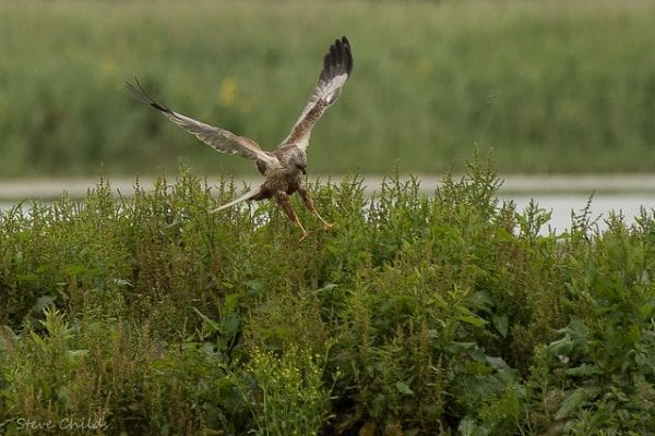 Marsh Harrier (Chris Childs)