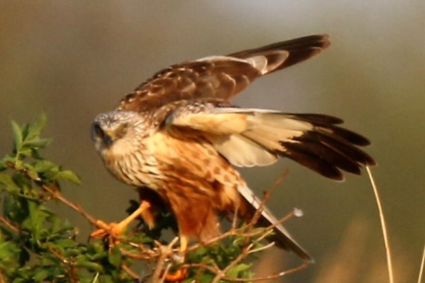 Marsh Harrier (Nick Goodrum)