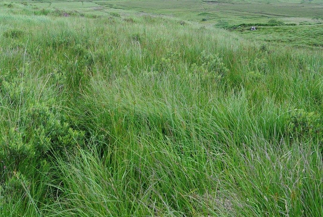 Rank-grass-growth-on-pettigo-blanket-bog