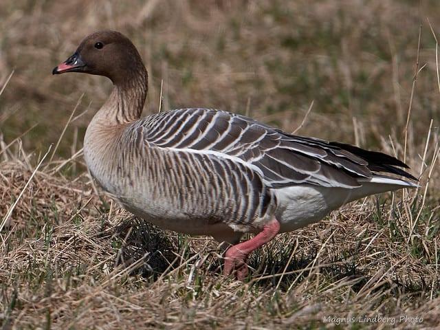 Pink Footed Goose Birdwatch Ireland