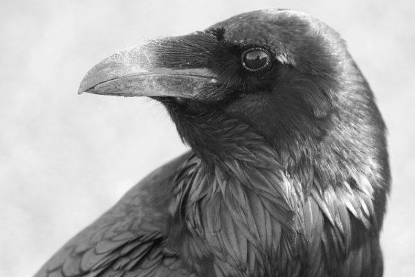 Raven (Carl Bergstrom)