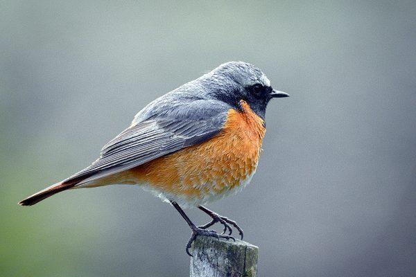 Redstart (Hedera Baltica)