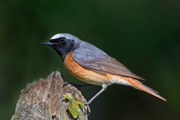 Redstart (Richard Towell)