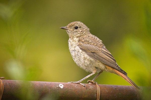 Redstart juvenile (Heldera Baltica)