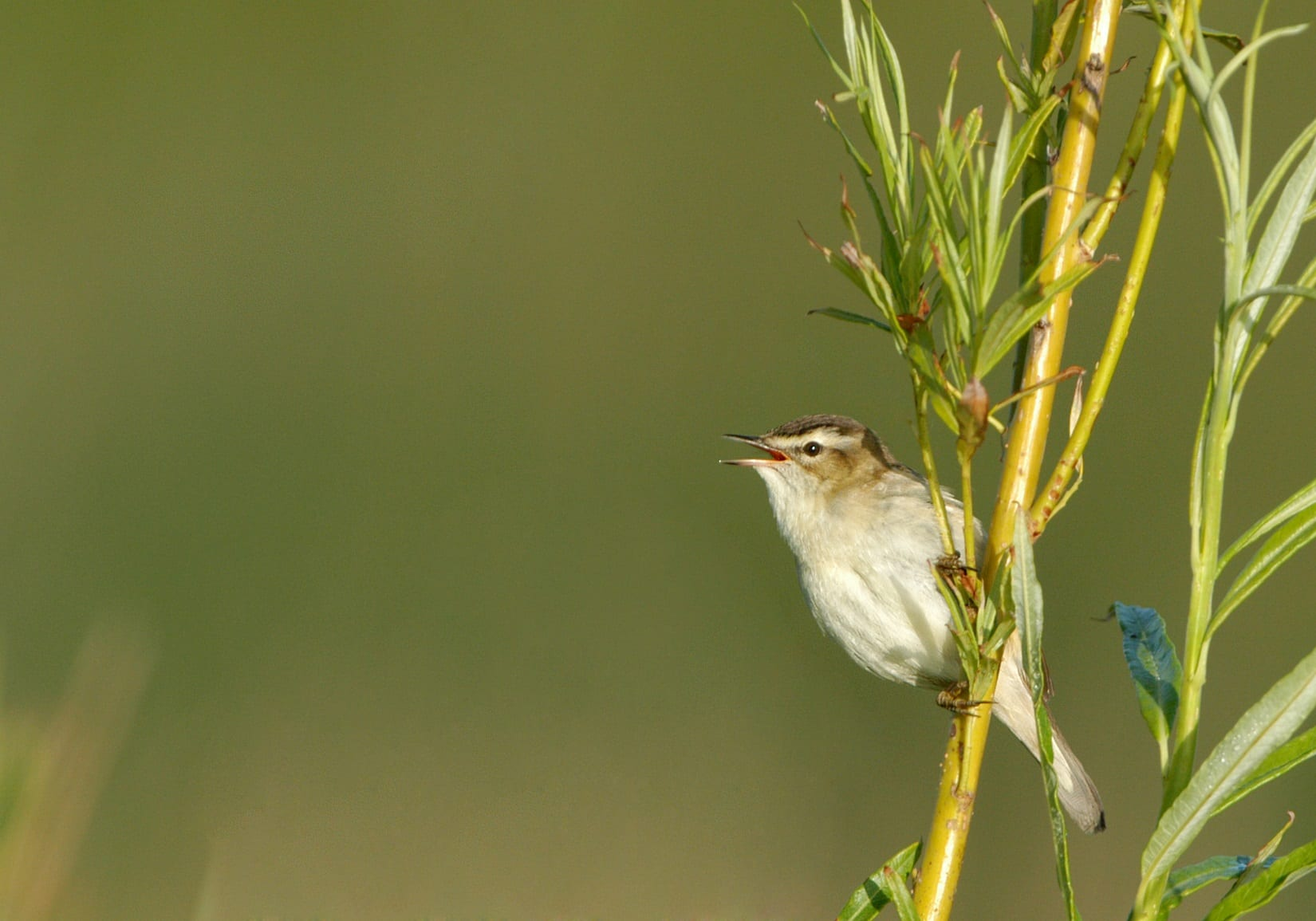 sedge-warbler-perched-on-willow