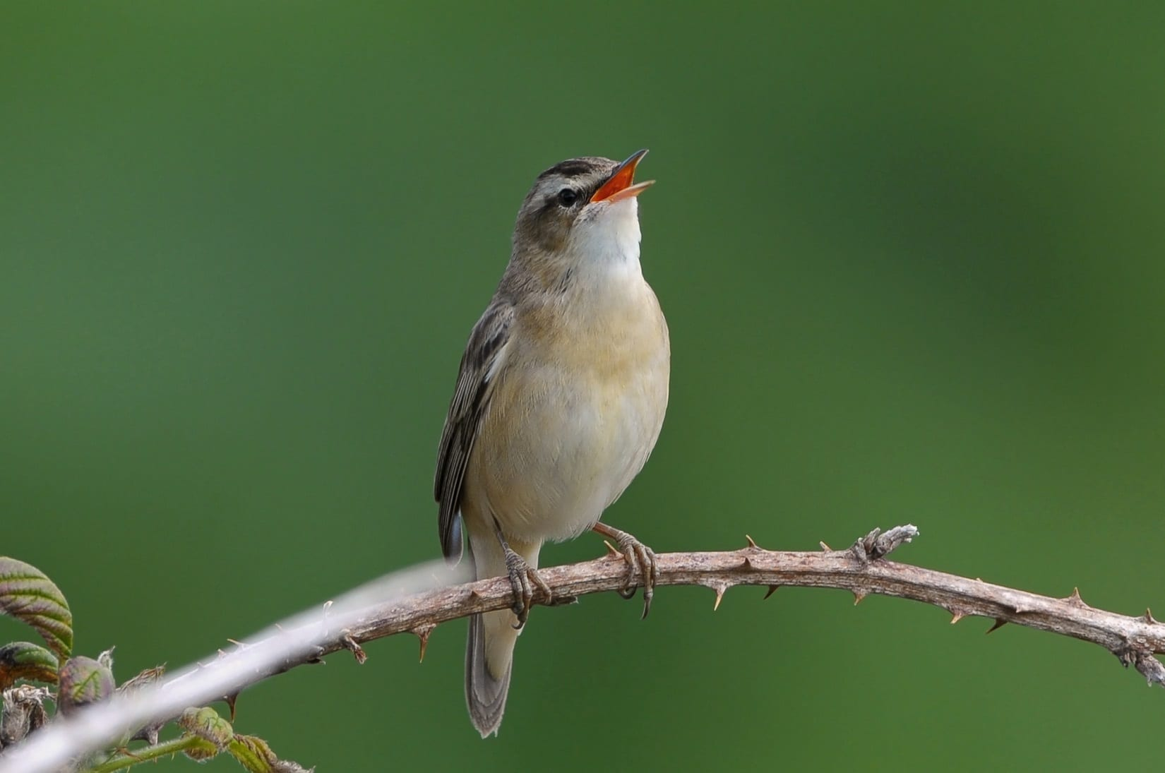 sedge-warbler-singing-from-bramble